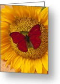 Insects Greeting Cards - Red Butterfly On Sunflower Greeting Card by Garry Gay