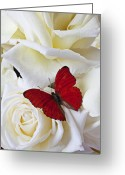 Wings Photo Greeting Cards - Red butterfly on white roses Greeting Card by Garry Gay