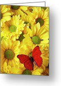 Blossoms Greeting Cards - Red butterfly on yellow mums Greeting Card by Garry Gay