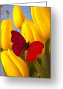 Yellows Greeting Cards - Red butterful on yellow tulips Greeting Card by Garry Gay