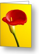 Lilies Greeting Cards - Red calla lilly  Greeting Card by Garry Gay