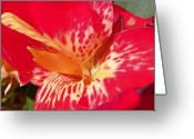 Canna Greeting Cards - Red Canna Lily Greeting Card by Sheri McLeroy