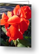 Canna Greeting Cards - Red Canna Lily Greeting Card by Warren Thompson