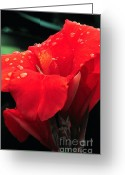 Canna Greeting Cards - Red canna with raindrops Greeting Card by Mike Nellums