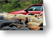 Summer On The Farm Greeting Cards - Red car blocked by a flock of sheep Greeting Card by Sami Sarkis