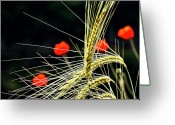 Cornfield Photo Greeting Cards - Red Corn Poppies Greeting Card by Heiko Koehrer-Wagner