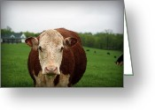 "\\\\\\\""boone County Photo Greeting Cards - Red Cow Face to Face Greeting Card by Cricket Hackmann"