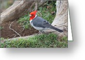 Waimea Greeting Cards - Red Crested Cardinal Male Greeting Card by Lauri Novak