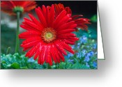 Aster  Greeting Cards - Red Daisy Greeting Card by Douglas Barnett
