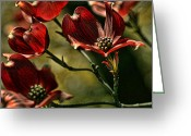 Blooming Plants Greeting Cards - Red Dogwood Greeting Card by Bonnie Bruno
