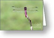 Mosquito Greeting Cards - Red Dragonfly Dancer Greeting Card by Sabrina L Ryan
