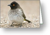 African Wildlife Greeting Cards - Red-eyed Bulbul Greeting Card by Peter Chadwick