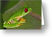 Red Eyed Leaf Frog Greeting Cards - Red-eyed Leaf Frog Greeting Card by Tony Beck