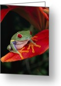 Red Eyed Leaf Frog Greeting Cards - Red-eyed Tree Frog Agalychnis Callidryas Greeting Card by Michael Durham