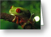 Red Eyed Leaf Frog Greeting Cards - Red-eyed Tree Frog Agalychnis Greeting Card by Heidi & Hans-Juergen Koch