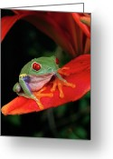 Ama Greeting Cards - Red-eyed Tree Frog Agalychnis Greeting Card by Michael Durham