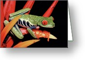 Ama Greeting Cards - Red-eyed Tree Frog Agalychnis Greeting Card by Michael & Patricia Fogden