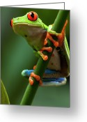 Red Eyed Leaf Frog Greeting Cards - Red-eyed Tree Frog, Costa Rica Greeting Card by Paul Souders