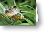 Red Eyed Leaf Frog Greeting Cards - Red-Eyed Tree Frog Greeting Card by David Aubrey and Photo Researchers