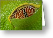 Red Eyed Leaf Frog Greeting Cards - Red Eyed Tree Frog Eyelid Costa Rica Greeting Card by Piotr Naskrecki
