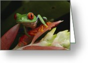 Red-eyed Frogs Greeting Cards - Red-eyed Tree Frog In Costa Rica Greeting Card by Michael Nichols