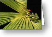 Red-eyed Frogs Greeting Cards - Red-eyed Tree Frog In Costa Rica Greeting Card by Roy Toft