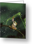 Ama Greeting Cards - Red-eyed Tree Frog In The Rain Greeting Card by Michael Durham
