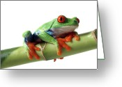 Frog Greeting Cards - Red-eyed Tree Frog Greeting Card by Mlorenzphotography