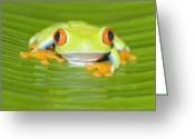 Red Eyed Leaf Frog Greeting Cards - Red-eyed Tree Frog Staring,costa Rica Greeting Card by Marco Simoni
