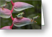 Ama Greeting Cards - Red Eyed Tree Frog Three Sitting Greeting Card by Tim Fitzharris