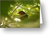 Braches Greeting Cards - Red-faced Liocichla, Liocichla Greeting Card by Joel Sartore
