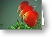 Three Animals Greeting Cards - Red Fish Greeting Card by Vietnam