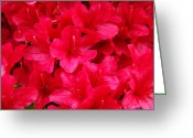 Seasons Framed Prints Prints Greeting Cards - Red Floral art prints Rhododendron Flowers Rhodies Greeting Card by Baslee Troutman Fine Art Prints