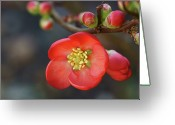 Stamen Greeting Cards - Red Flowering Quince Greeting Card by Picture By La-ong