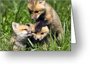 Vulpes Greeting Cards - Red Fox Babies - D006647 Greeting Card by Daniel Dempster
