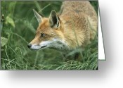 Animal Hunting Greeting Cards - Red Fox Hunting Greeting Card by Duncan Shaw