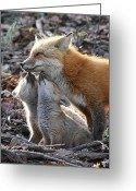 Greet Greeting Cards - Red Fox kits and parent Greeting Card by Doris Potter