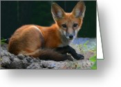 Laying Down Greeting Cards - Red Fox Greeting Card by Kristin Elmquist