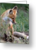 Ecosystem Greeting Cards - Red Fox pup outside its den Greeting Card by Mark Duffy