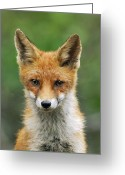 Carnivores Greeting Cards - Red Fox Vulpes Vulpes, Hoge Veluwe Greeting Card by Jan Vermeer