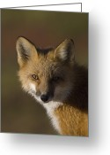 Carnivores Greeting Cards - Red Fox Vulpes Vulpes Portrait, Alaska Greeting Card by Michael Quinton