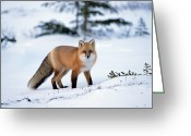Looking At Camera Greeting Cards - Red Fox Vulpes Vulpes Portrait Greeting Card by Konrad Wothe