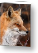 Winter Sleep Greeting Cards - Red Fox With Ice Formed On Brow Greeting Card by Max Allen