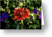 Homesickness Greeting Cards - Red Gaillardia Greeting Card by Douglas Barnett