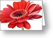 Landscape Framed Prints Greeting Cards - Red gerber daisy flower Greeting Card by Artecco Fine Art Photography - Photograph by Nadja Drieling