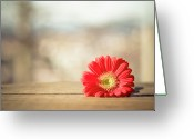Fragility Greeting Cards - Red Gerbera Daisy Greeting Card by Daniela Romanesi