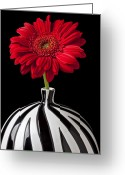 Chrysanthemum Greeting Cards - Red Gerbera Daisy Greeting Card by Garry Gay