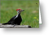 Woodpecker Photos Greeting Cards - Red Head Greeting Card by Sarah  Lalonde