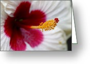 Stamen Greeting Cards - Red Heart Rose of Sharon Hibiscus Greeting Card by Karon Melillo DeVega