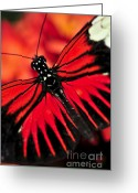 Tropic Greeting Cards - Red heliconius dora butterfly Greeting Card by Elena Elisseeva